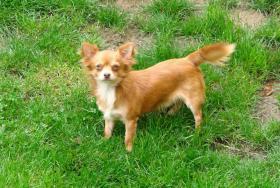 Chihuahua-Langhaarr�de aus Championverpaarung