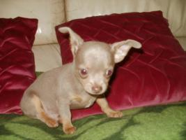 Chihuahua Luxus Welpen