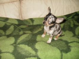 Foto 6 Chihuahua Luxus Welpen