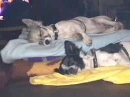 Chihuahua-Mädchen suchen neuen Wirkungskreis