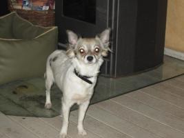 Foto 4 Chihuahua-Mädchen suchen neuen Wirkungskreis