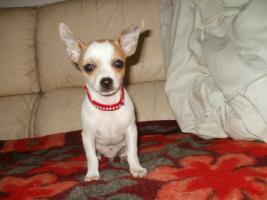 Foto 2 Chihuahua Merle Welpen