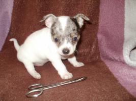 Foto 5 Chihuahua Merle Welpen