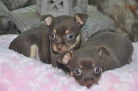 Foto 2 Chihuahua Merle, Schoko, Lilac, Blau, Weiß 100% Österreichische Zucht