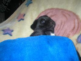 Foto 6 Chihuahua-Mix