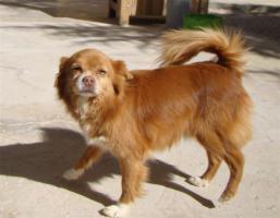 Chihuahua Mix Mischling sucht dringend ein Zuhause