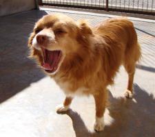 Foto 2 Chihuahua Mix Mischling sucht dringend ein Zuhause