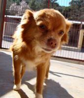 Foto 3 Chihuahua Mix Mischling sucht dringend ein Zuhause