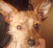 Chihuahua Mix R�de