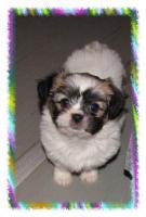 Foto 4 Chihuahua Mix Welpen