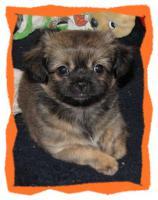 Foto 5 Chihuahua Mix Welpen