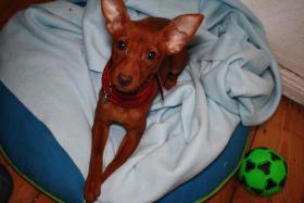 Chihuahua Pinscher Mischling