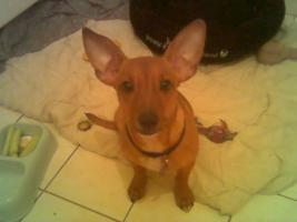 Chihuahua-Rattler-Mix