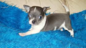 Foto 3 Chihuahua Reinrassige Welpen