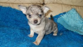 Foto 4 Chihuahua Reinrassige Welpen