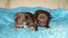 Foto 5 Chihuahua Reinrassige Welpen