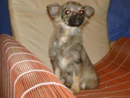Chihuahua Rüde 5 mon. m. Pap.