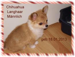 Chihuahua R�de langhaar Welpe sucht ein Liebes neues Zuhause mit viel Herz