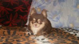 Foto 2 Chihuahua Rüde schocko-creme