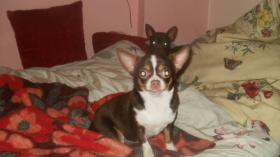 Foto 6 Chihuahua Rüde schocko-creme