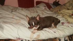 Foto 7 Chihuahua Rüde schocko-creme