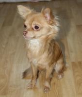 Chihuahua Rüde schoko-creme LH, 9 Monate alt