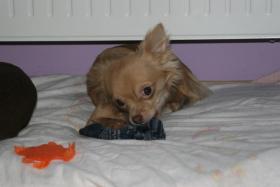 Foto 3 Chihuahua Rüde schoko-creme LH, 9 Monate alt
