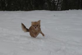 Foto 5 Chihuahua Rüde schoko-creme LH, 9 Monate alt