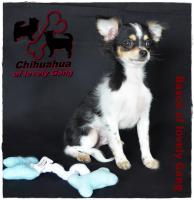 Chihuahua Rüde tricolor - KEINE Dilution 17 Wochen sucht liebevolles zu Hause!