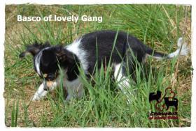 Foto 7 Chihuahua Rüde tricolor - KEINE Dilution 17 Wochen sucht liebevolles zu Hause!