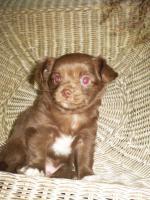 Foto 2 Chihuahua Schoko Rüde Reinrassig............