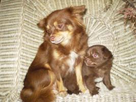 Foto 3 Chihuahua Schoko Rüde Reinrassig............