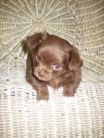 Foto 4 Chihuahua Schoko Rüde Reinrassig............
