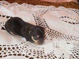 Chihuahua Schokolade R�de und Welpen