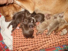 Foto 2 Chihuahua Schokolade R�de und Welpen