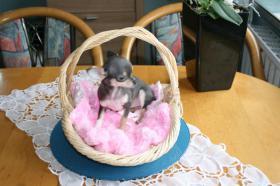 Foto 3 Chihuahua Teacup