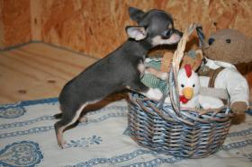 Foto 4 Chihuahua Teacup