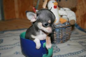 Foto 5 Chihuahua Teacup