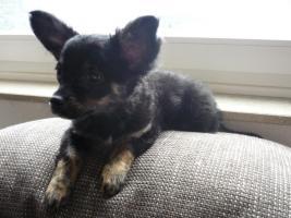 Chihuahua Tricolor Männchen