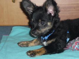 Foto 2 Chihuahua Tricolor Männchen