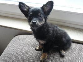 Foto 3 Chihuahua Tricolor Männchen