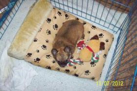 Foto 4 Chihuahua zu Verkaufen