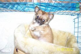 Foto 5 Chihuahua zu Verkaufen
