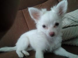 Chihuahua Weibchen zu verkaufen