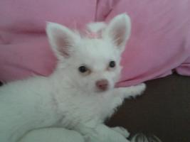 Foto 2 Chihuahua Weibchen zu verkaufen