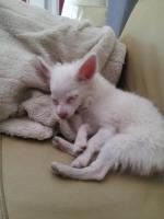 Foto 5 Chihuahua Weibchen zu verkaufen