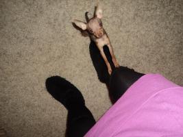 Foto 2 Chihuahua Welpe