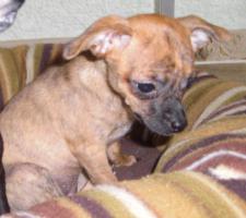Chihuahua-Welpe Kurzhaar zu verkaufen
