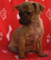 Foto 2 Chihuahua-Welpe Kurzhaar zu verkaufen