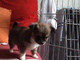 Foto 3 Chihuahua Welpe Männlich